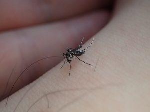 足首から血を吸う害虫ヒトスジシマカ(ヤブ蚊)