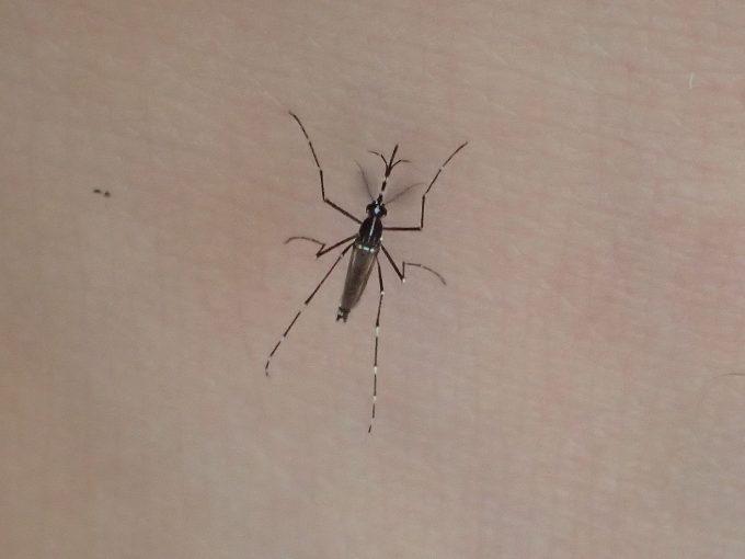 濃いお茶で拭いた皮膚・肌から血を吸うヤブ蚊(ヒトスジシマカ)