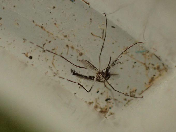 蚊とりん容器の溝に迷い込んでそのまま死んだ害虫ヤブ蚊の成虫