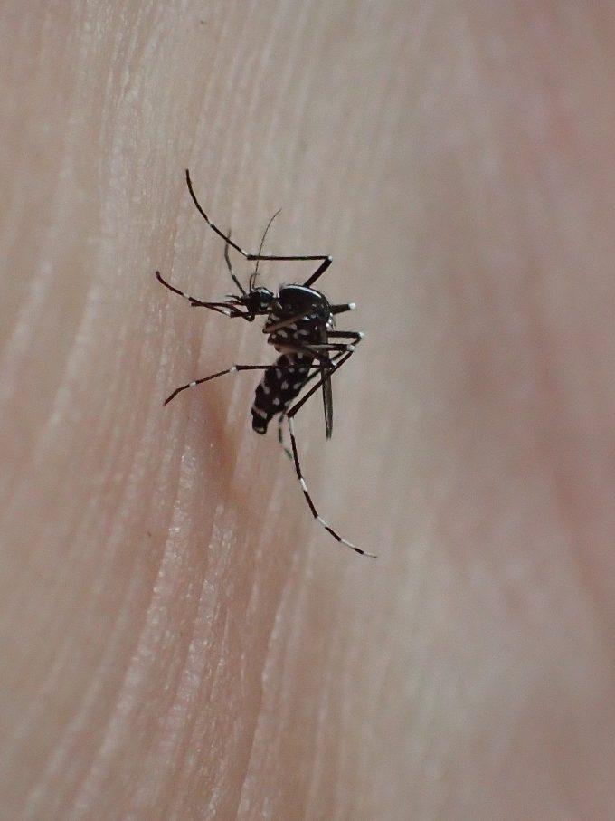 足(くるぶし)にとまって血を吸う害虫ヤブ蚊(ヒトスジシマカ)