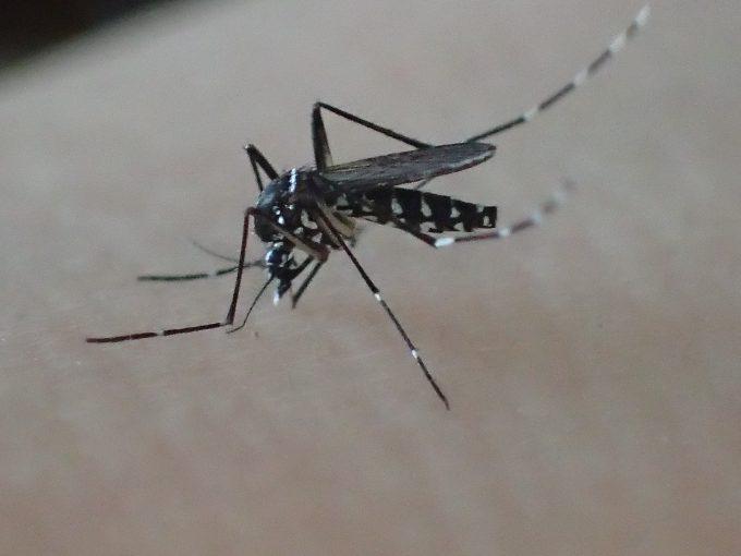 肌に口針を突き刺して血を吸う害虫ヤブ蚊(ヒトスジシマカ)