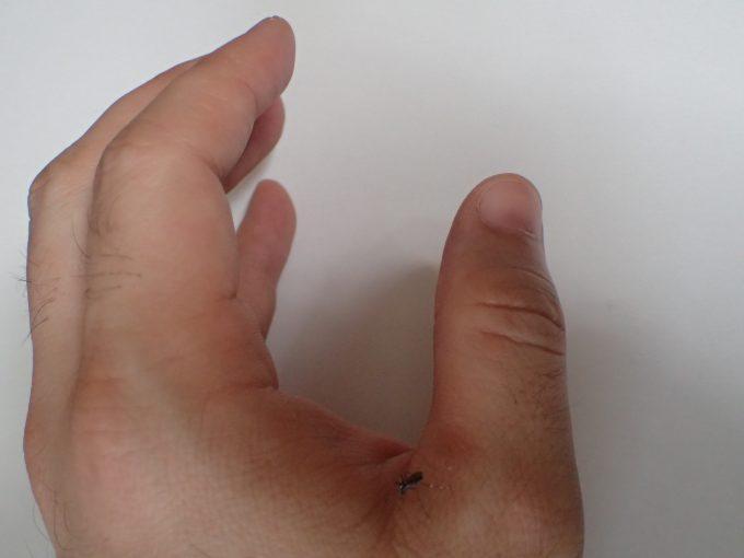 チクッとした痛みを手に感じたので見るとヤブ蚊が刺して血を吸っていた