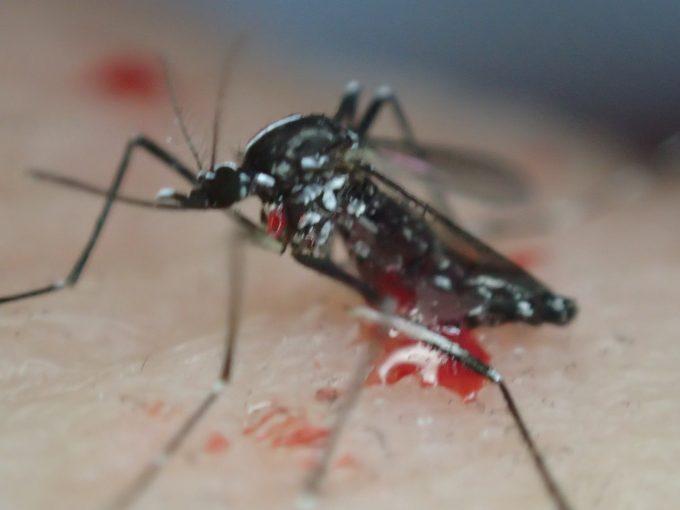 瀕死の状態でも必死に逃げようともがく害虫ヤブ蚊(ヒトスジシマカ)