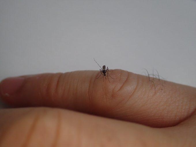 手の指のシワから血を吸う害虫ヤブ蚊(ヒトスジシマカ)