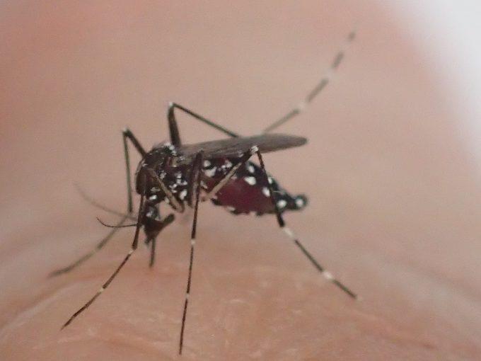 少しずつヤブ蚊の腹部が吸った血で膨らみ始める