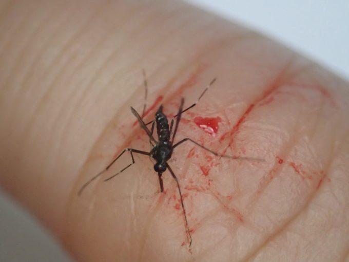 血を吸い終えて逃げる直前に駆除されたヤブ蚊の死骸