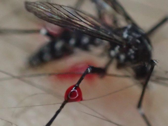 ヤブ蚊の足に血の滴がついている