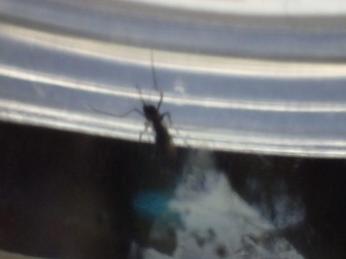 血を吸っていた害虫ヤブ蚊(ヒトスジシマカ)を駆除ではなく捕獲した