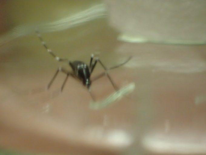 ニンニクから逃げるように走り回るヤブ蚊(ヒトスジシマカ)