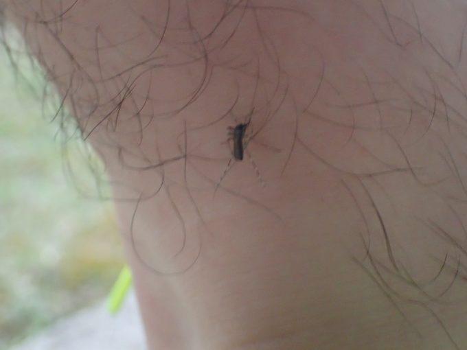 シートを塗った直後の足が速攻でヤブ蚊(ヒトスジシマカ)に襲われ血を吸われてしまった
