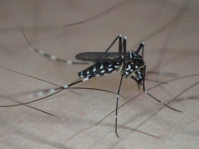毛深い足から血を吸う害虫ヤブ蚊(ヒトスジシマカ)