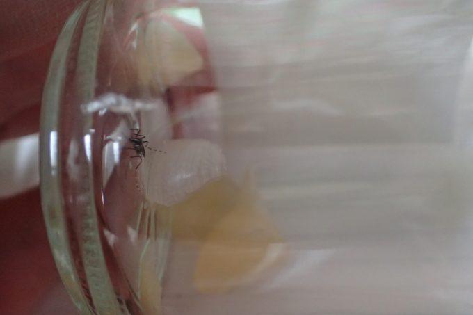 生の刻みニンニクを入れた容器にヤブ蚊を捕獲!