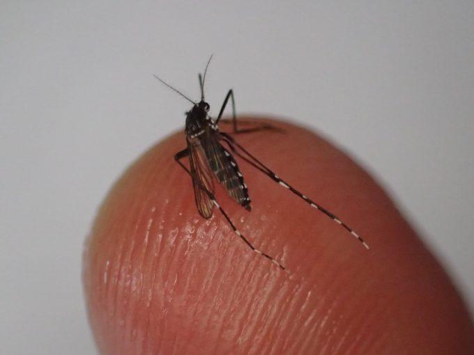 ニンニクの汁まみれになったヤブ蚊の十数分後の姿