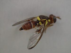 黄色い模様が特徴で蜂(ハチ)と蝿(ハエ)を足して2で割ったような昆虫