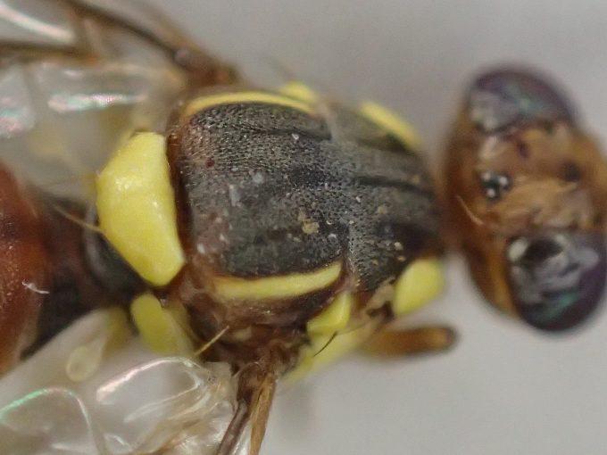 背中の黄色い模様が蜂(ハチ)を真似た擬態のように見える