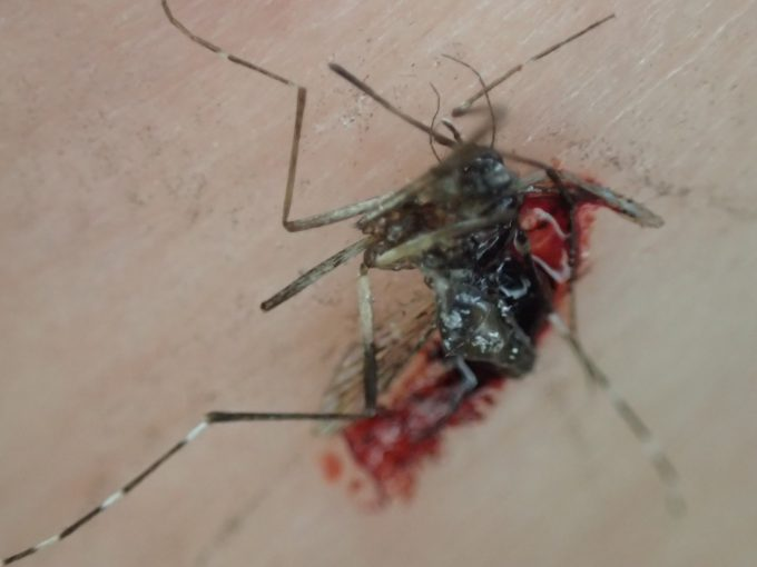 血を吸ったメスのヤブ蚊を叩いて駆除した死骸の写真・画像