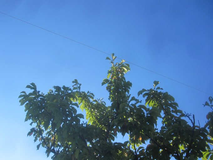 快晴の青空に蝉(セミ)が鳴いて揺れる木々