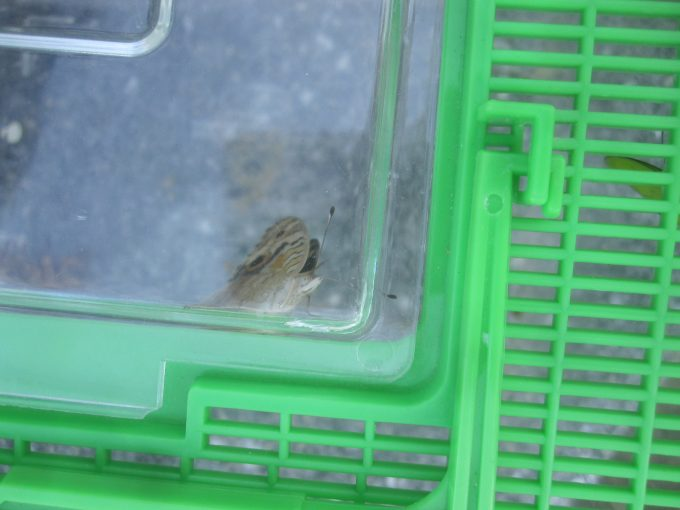 虫カゴの中には捕まえられたチョウチョ、バッタが暴れている