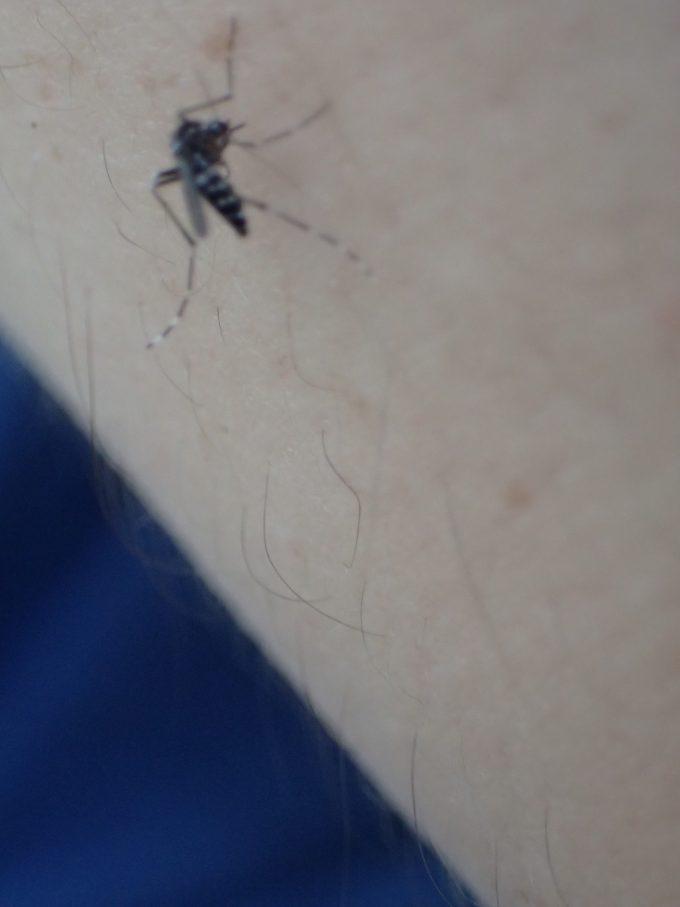 腕をヤブ蚊に刺されてガッツリ血を吸われてしまった
