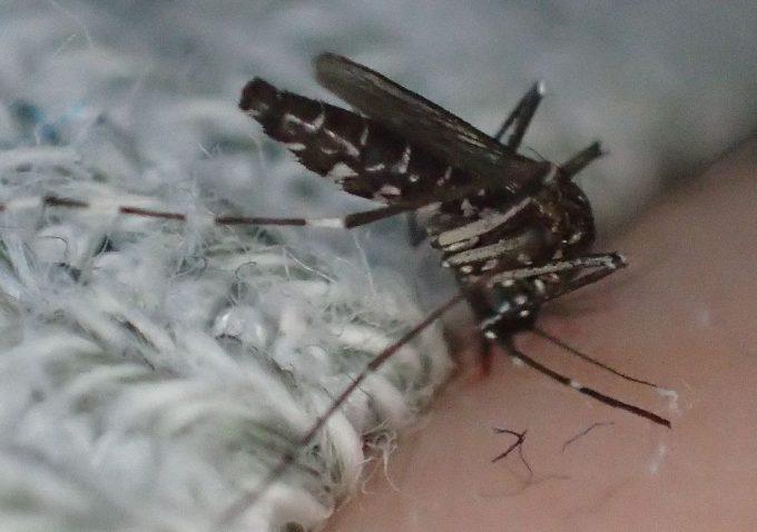 産卵に必要な栄養分を確保するため人間から吸血する害虫ヒトスジシマカ