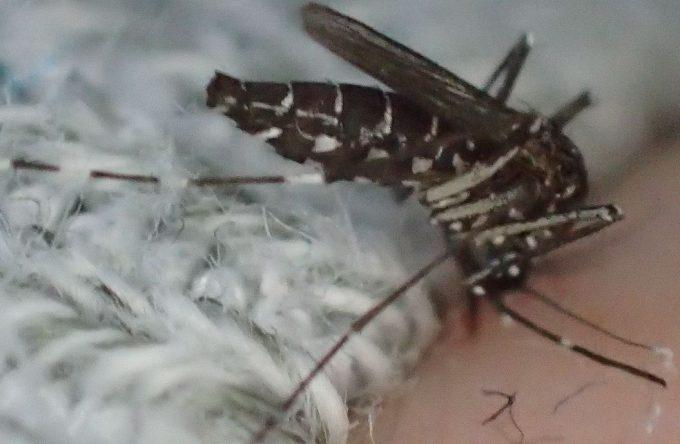 ほっそりしていたヤブ蚊の腹部が吸った生き血で膨らんでいる様子