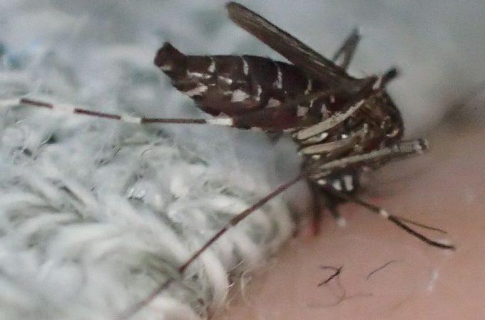 腹部がパンパンに膨れたヤブ蚊が飛び立って逃げ去ろうとする瞬間