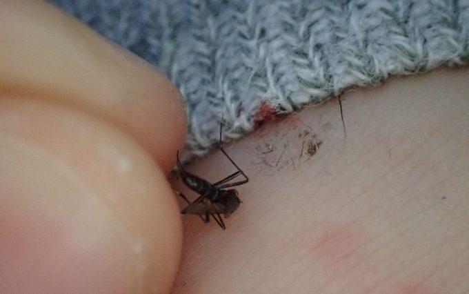 指で押し潰して退治・駆除したヤブ蚊の死骸を摘む