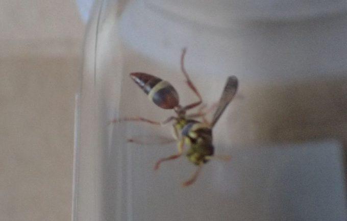 虫取り網で1匹のハチを捕獲して種類・名前を調べることにした