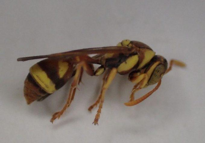 ハチ(蜂)を冷蔵庫に入れると動かなくなっていたが、外に出すとすぐ元気になった(笑)