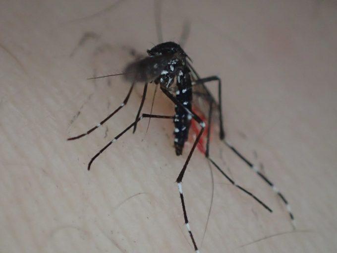 血を吸っていた害虫ヤブ蚊(ヒトスジシマカ)を叩いて駆除した死骸の写真・画像