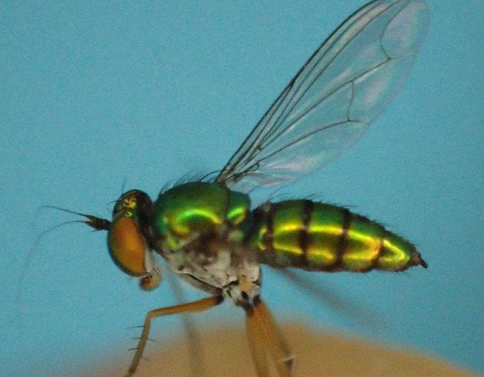 体色が光沢のある金緑色のアシナガバエ