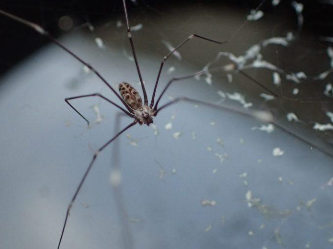 蚊とりん内部で蚊を待ち伏せする賢いユウレイグモ