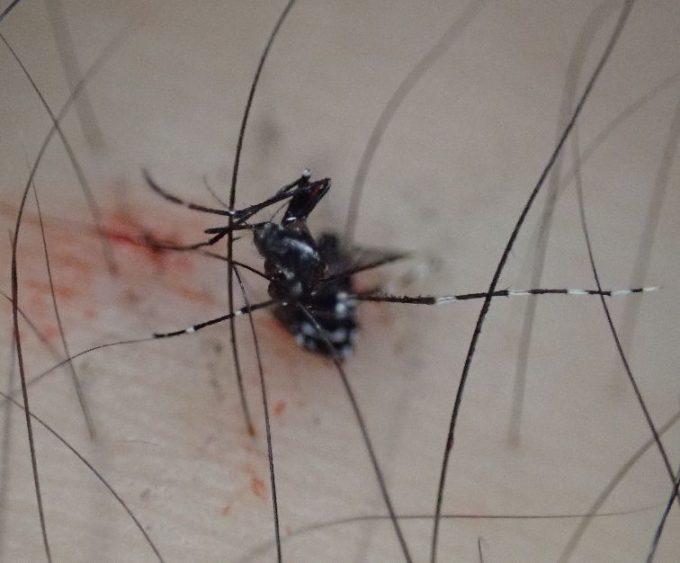 平手打ちの直撃を食らって即死したヤブ蚊の死骸