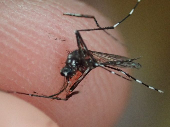 死んだ蚊の死骸を摘み上げた