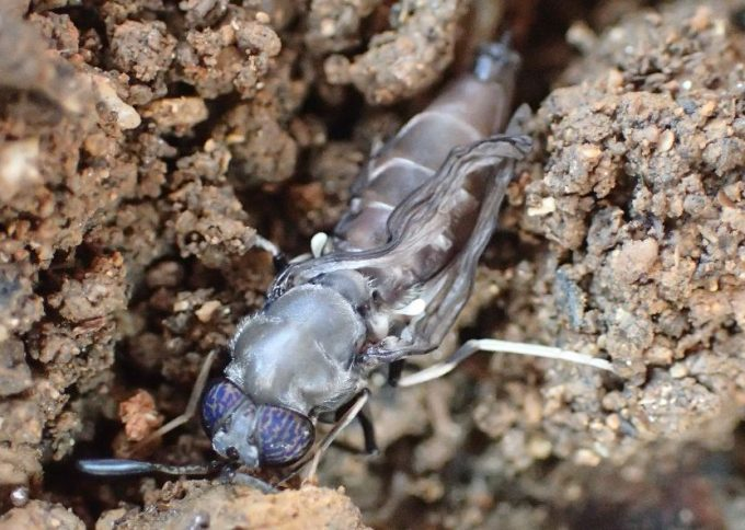 土の中から這い出てくる成虫のコウカアブ・ミズアブ