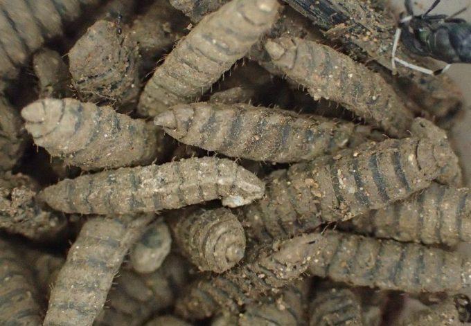 生ゴミを埋めた場所の土を掘り返すとおびただしい数のコウカアブ・ミズアブの幼虫(うじ虫)が出てきた