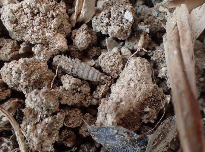 土の中から地上へ這い出てきたコウカアブ・ミズアブの幼虫(ウジムシ)