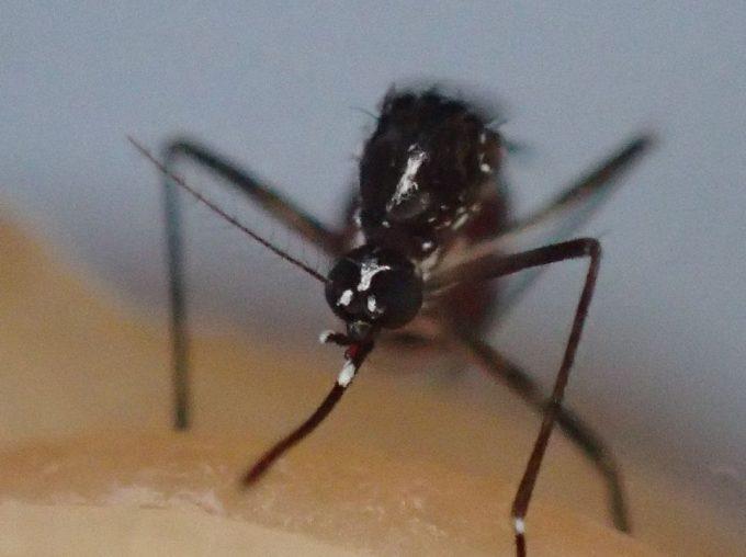 腹一杯に血を吸ったヤブ蚊を捕獲した写真・画像