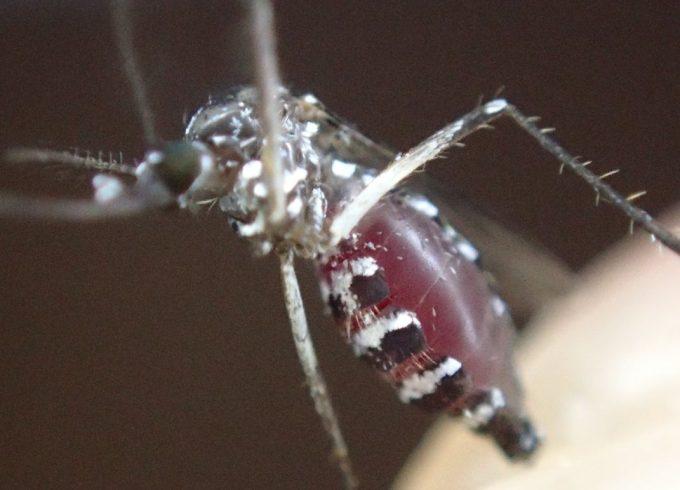 腹部がはち切れそうなほど血を吸ったヤブ蚊の写真