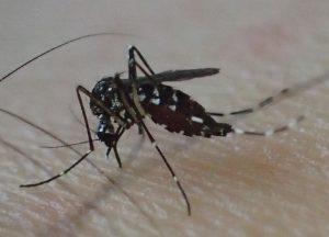 ヒトの足から吸血する害虫ヤブ蚊(ヒトスジシマカ)のメス
