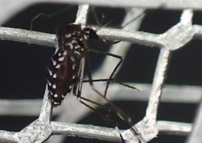 ヤブ蚊を乗せた電撃殺虫ラケットのスイッチを入れる