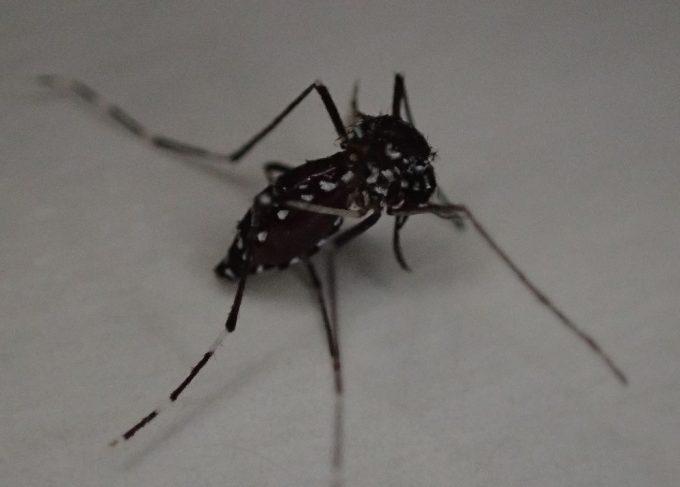 血を吸って腹部が膨らんだ害虫ヤブ蚊(ヒトスジシマカ)を発見!