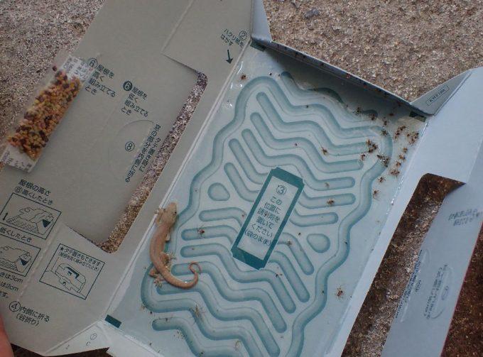 ゴキブリじゃなくヤモリが引っかかった粘着シートの写真