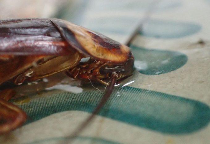 粘着シートに顔面から突っ込んで死んでいるワモンゴキブリ