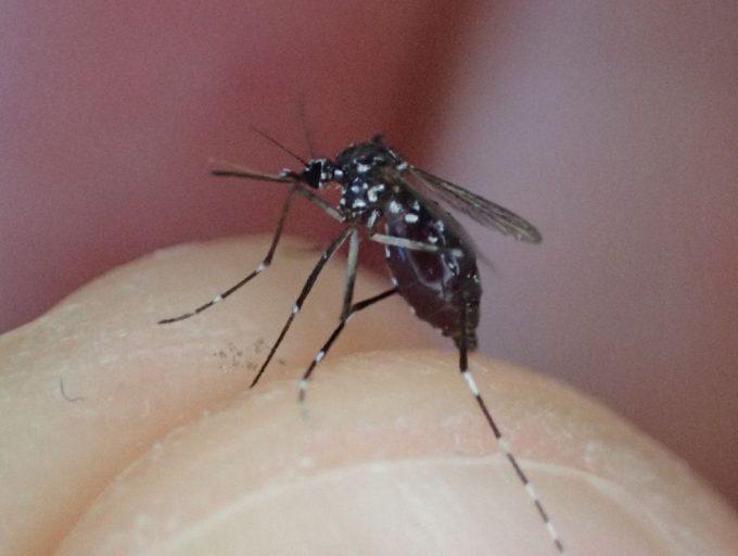 体重の何倍もありそうな大量の血を吸っていたヤブ蚊