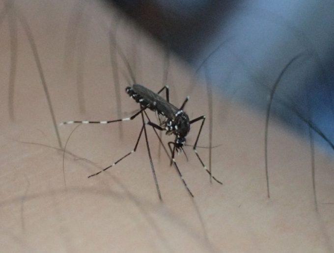 毛の生えていない場所を狙って血を吸うヤブ蚊(ヒトスジシマカ)のメス