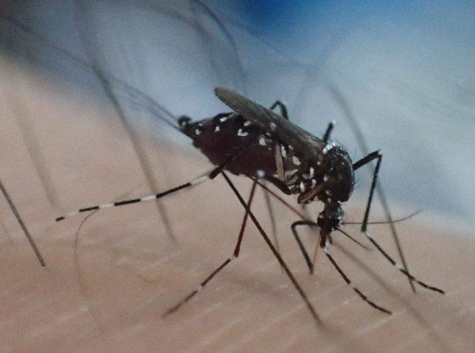 吸った血で腹部が赤黒くパンパンに膨れた害虫ヤブ蚊の写真