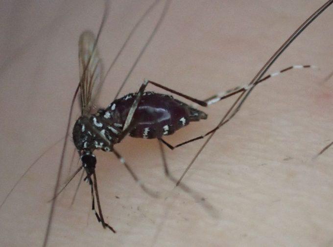 血を吸って逃げそうなヤブ蚊を手で叩いて退治した瞬間の写真