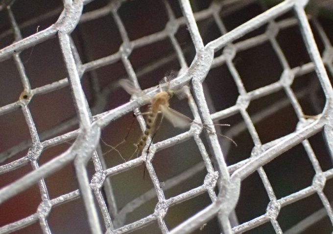 深夜、耳元で飛んでいたイエカを電撃殺虫ラケットで退治した写真