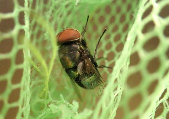 家・部屋の中に侵入した害虫のハエ(蝿)を虫取り網で捕獲した